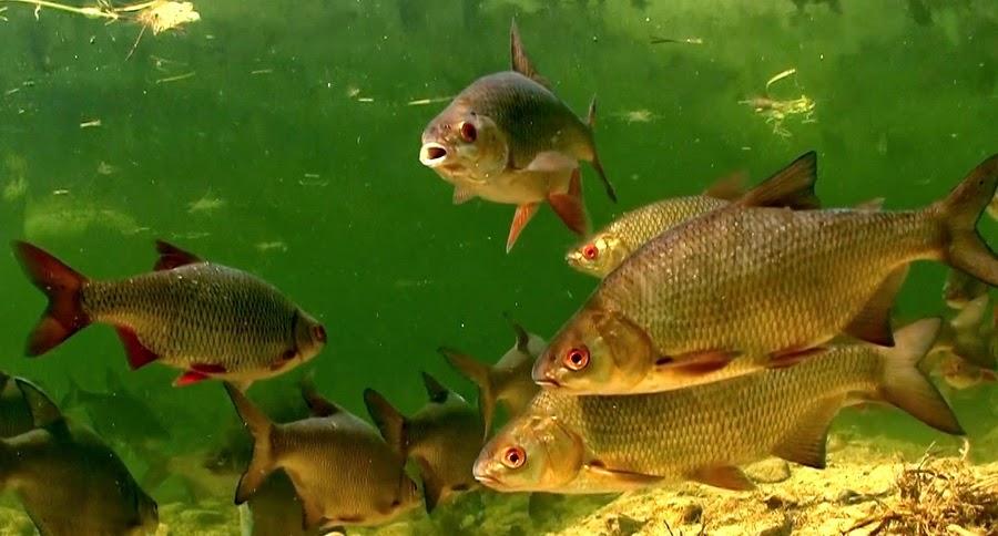 стайка рыб, плотва