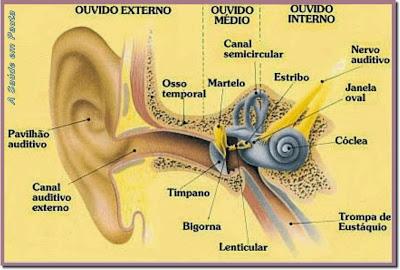Estrutura do aparelho auditivo. Ouvido externo, médio e interno.