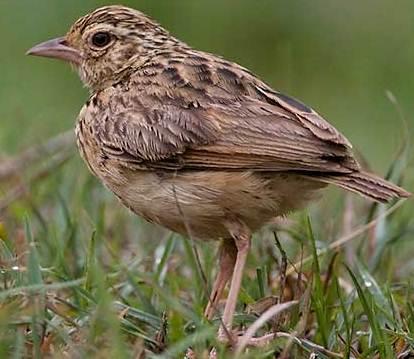 Cara menjinakkan burung branjangan liar dari hutan