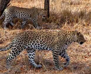 Mama Leopard and Year Old Cub