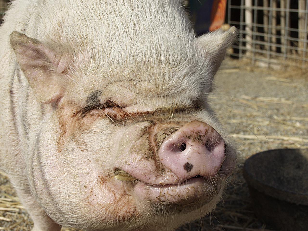Руководство по сексу с свиней 16 фотография
