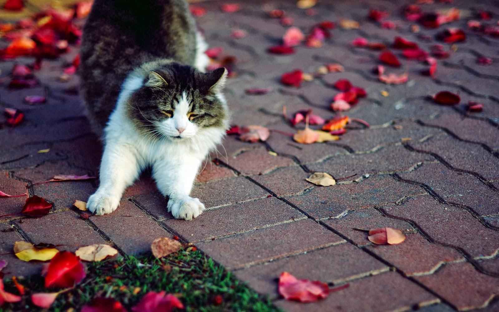 Foto van een kat op straat met herfstbladeren hd herfst wallpaper