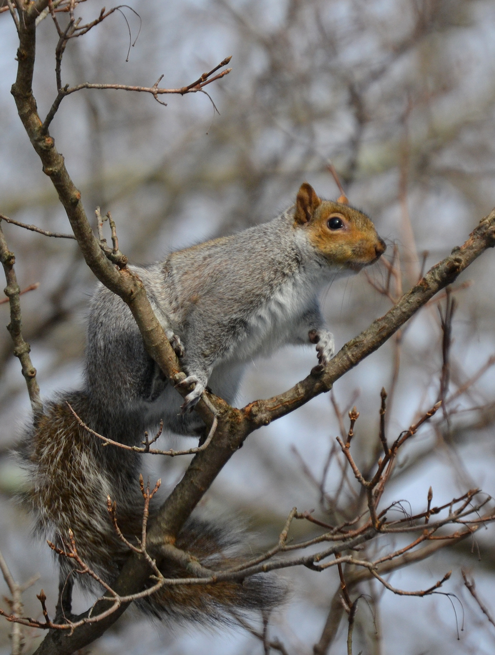 Meaning of white squirrel sighting - I Just Love Those Dark Red Faces Pale Gray And White Bodies And Bellies And Super Fluffy Tails And They Re Pretty Fat Now Too Which Can Only Mean Extra