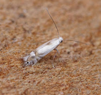 Latest New Micro Moth Species - Phyllocnistis unipunctella