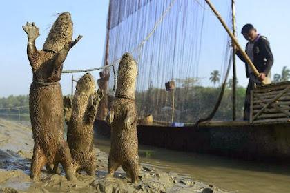 Foto: Berang-berang Bantu Nelayan Bangladesh Tangkap Ikan