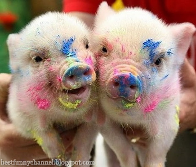 Two funny pigs.