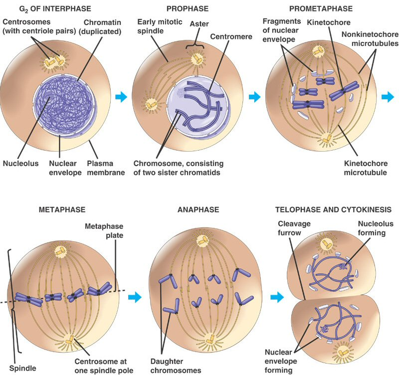 Mitosis And Cancer Worksheet Cell Division And The Cell Cycle