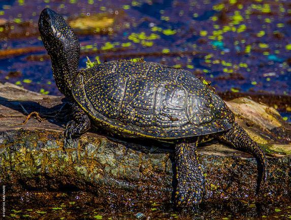 Λίμνη Δύστου: Νεροχελώνα