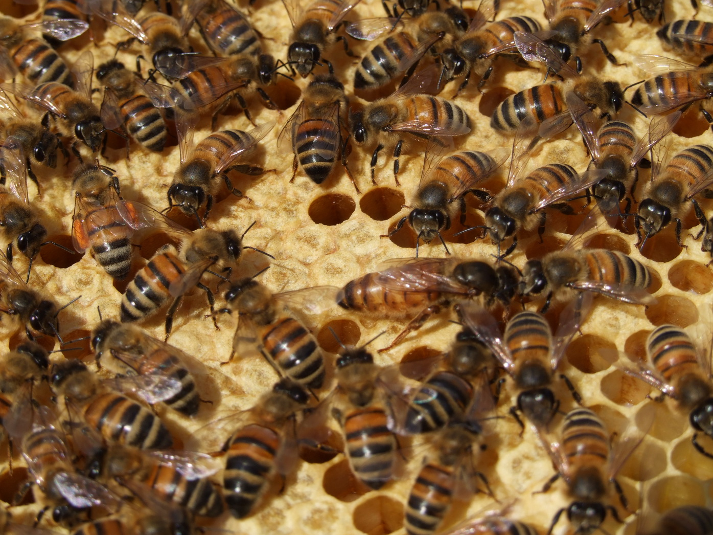 honey bee: Bees for Sale and now we are going Top Bar