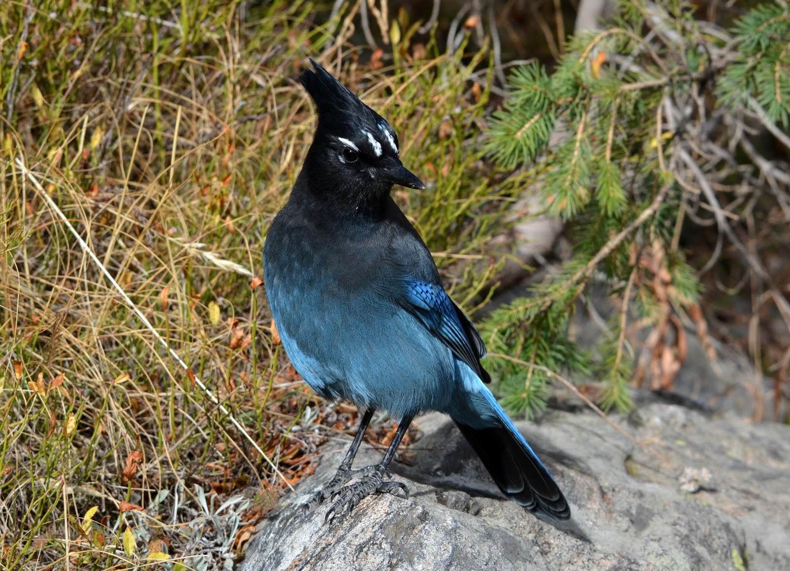 cozy birdhouse | stellar's jay at rocky mountain national park