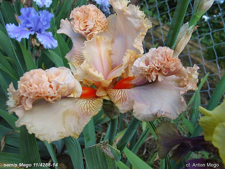 Iris a pompons Pompon+mego