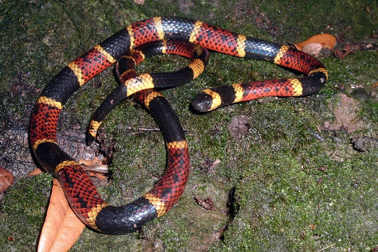 Snake Rhyme For Coral Snake Coral Snakes Red to Yellow