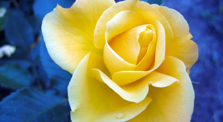 """In Christ, a yellow rose we become...."""