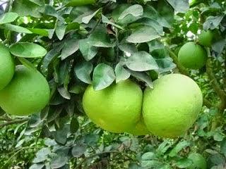 Kandungan Nutrisi dan Manfaat Jeruk Bali untuk Kesehatan