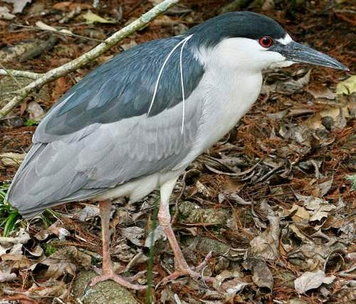 Indian birds - Black-crowned night heron - Nycticorax nycticorax