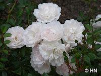Floribundarose Bella Rosa
