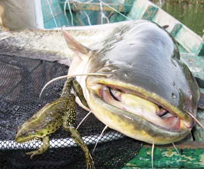 рыбалка ловля сома видео