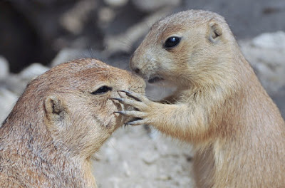 animales-raros-roedores-besos