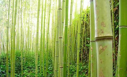 plantação bambu blog usimak