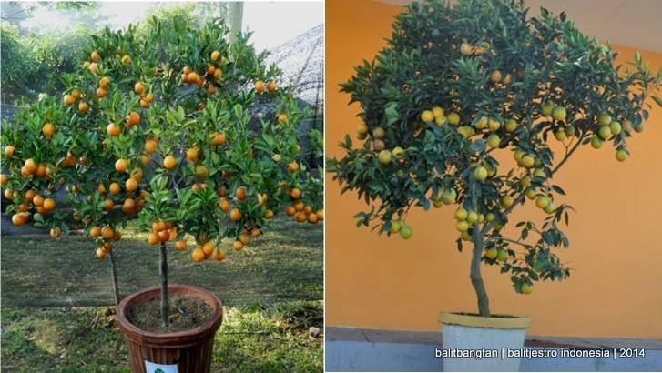 tabulampot jeruk manis
