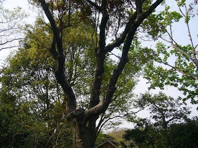 万博記念公園・日本庭園 名木 クスノキ