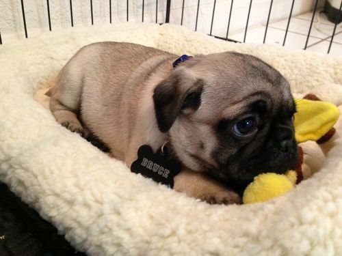 Sweet and innocent pug puppy sleeping