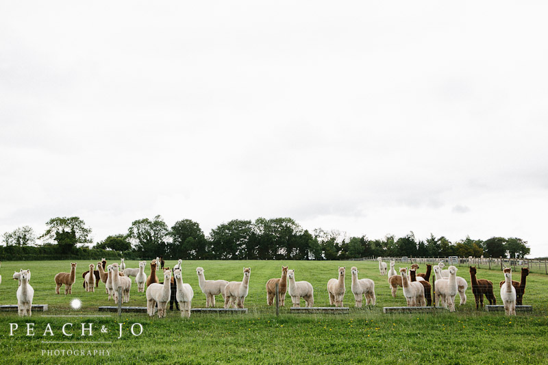 wedding alpacas
