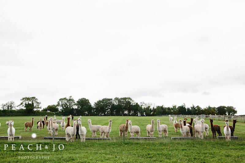 wedding alpacas