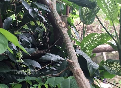 Kỳ lạ rái bo bo lớn nhanh như thổi ở Quảng Ngãi