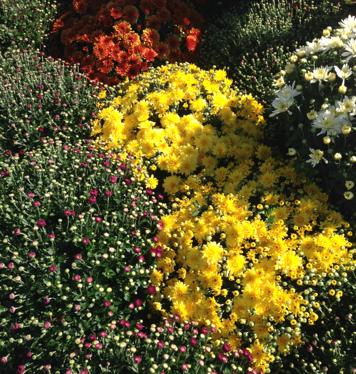 Mums, Flowers, Virginia, Fall, Festival, Cox Farms