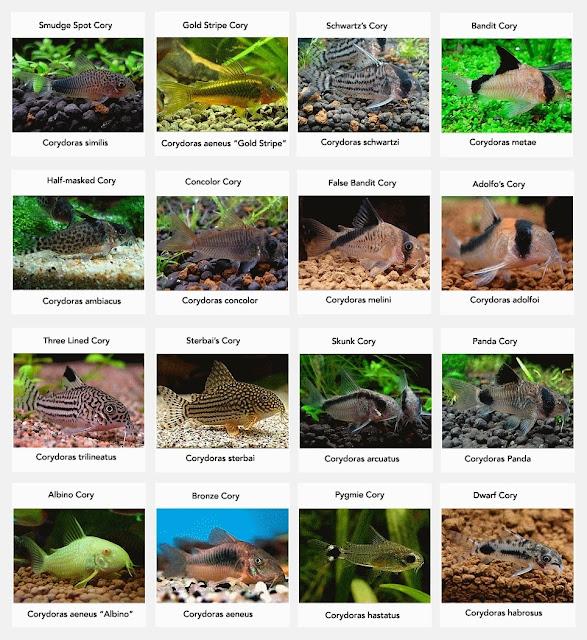 Corydoras Information Care Types Feeding And Breeding