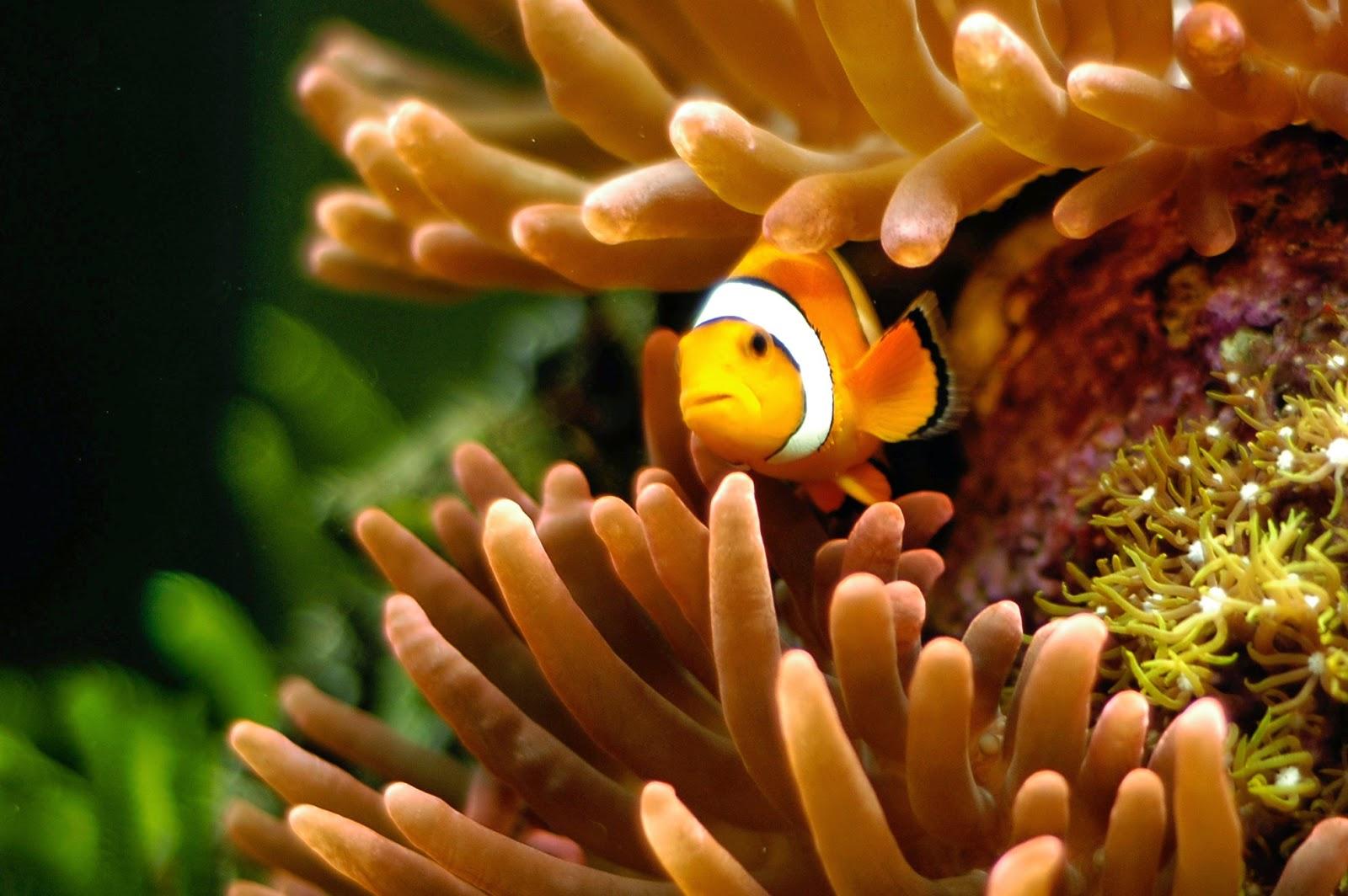 wallpaper clarkii clownfish - photo #13