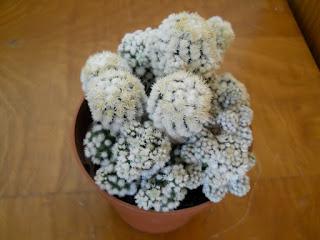 cactus con pelusa blanca