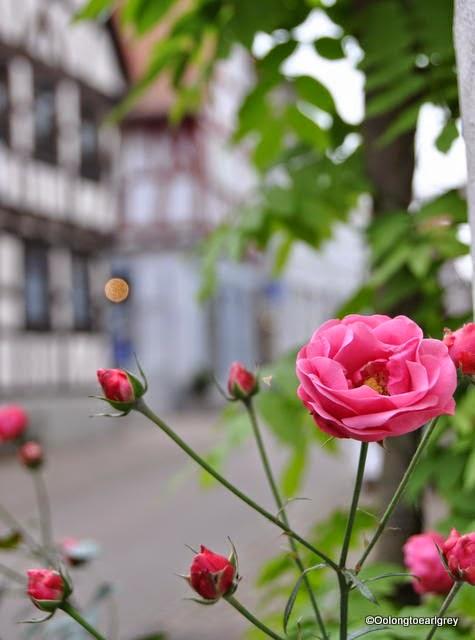 Rose, Hofheim, Frankfurt