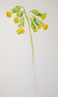 Cowslip watercolour study