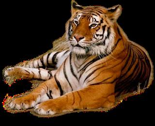 Imagenes Tigre PNG