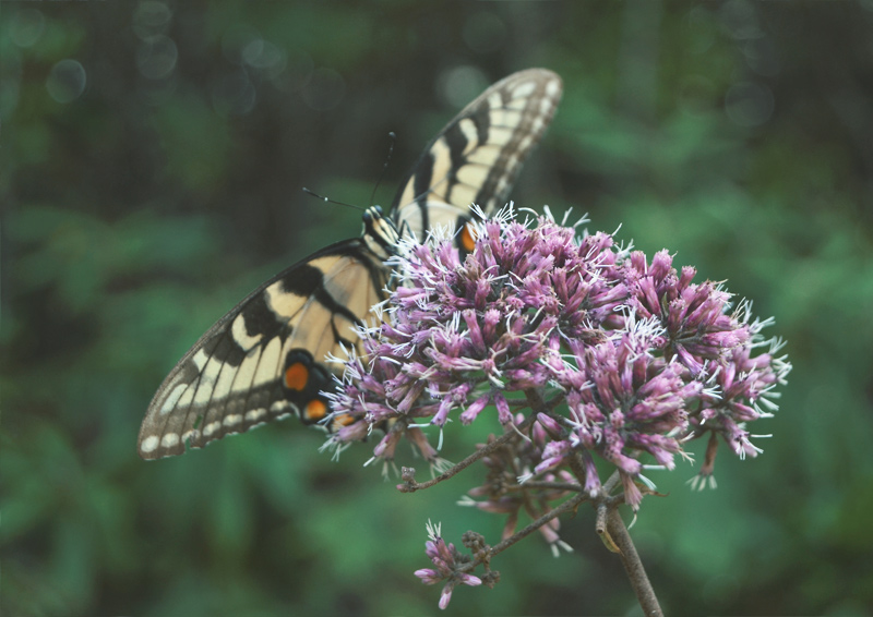 The Flying Clubhouse: Summer's End - Eastern Tiger Swallowtail