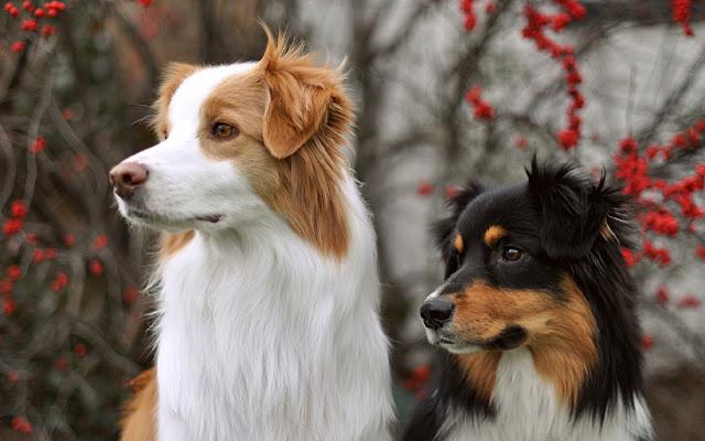 Imagen de dos hermosos Perros Border Collie