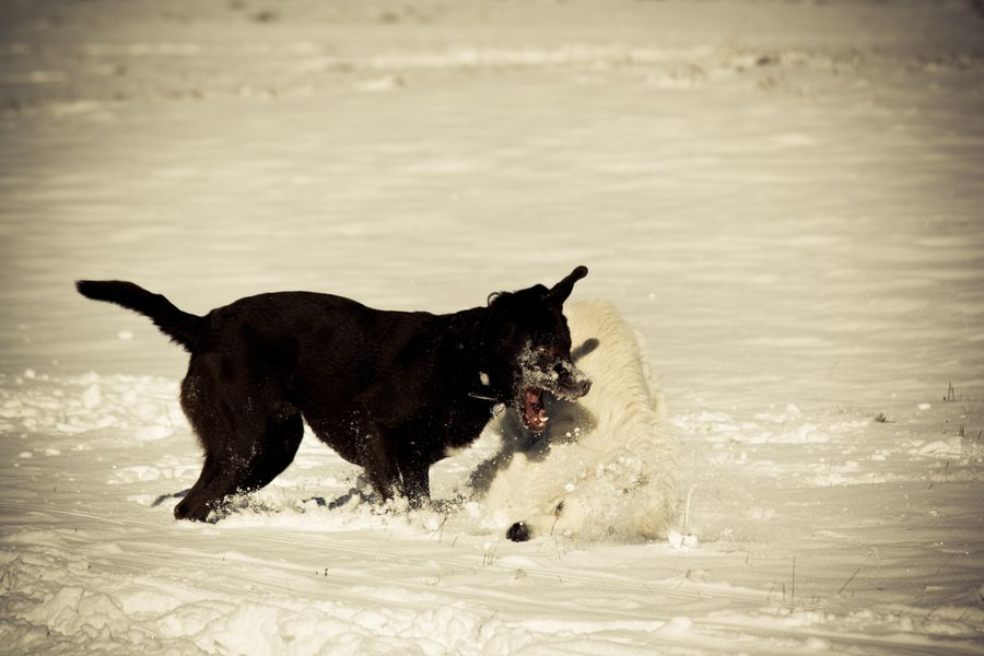 30. Playing dogs in snow by Philipp Herczeg
