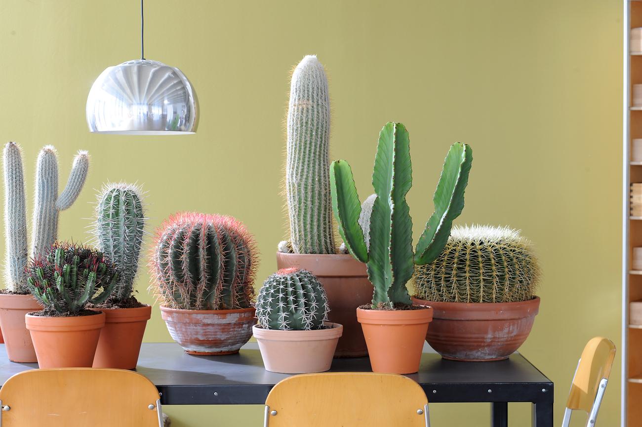 Planta protagonista del mes de junio cactus jardiner a y paisajismo paisajismo sostenible - Cactus de interior ...