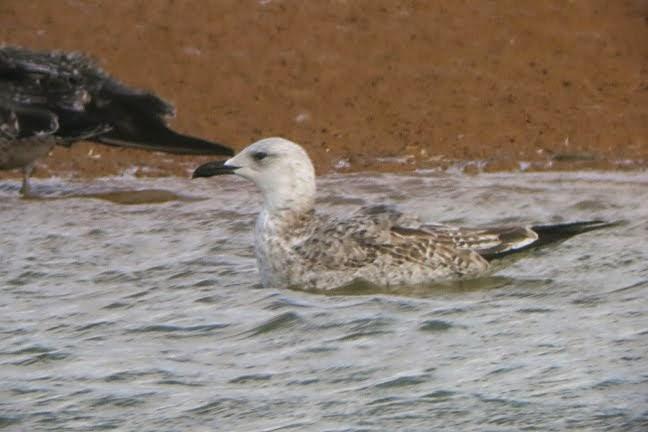 Caspian Gull Score at Shawell 2014
