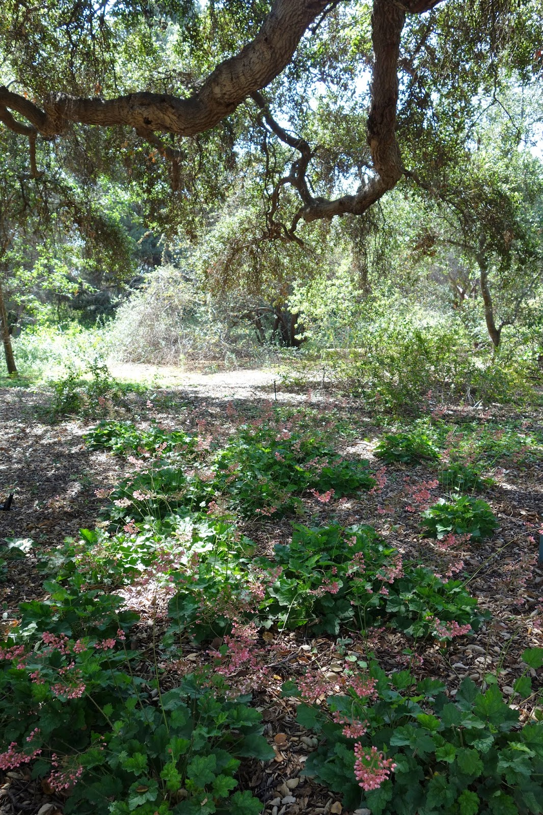 Perennials That Grow Under Oak Trees : Sb june