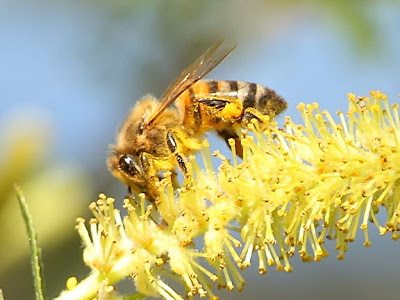 Bee with Full Pollen Sacks