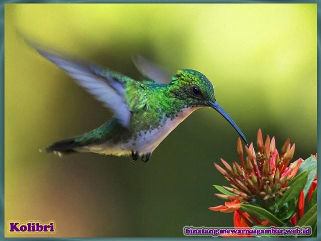 gambar binatang burung kolibri