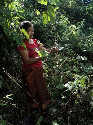 Photo: Khmu woman harvests kheupiad vine in the jungle