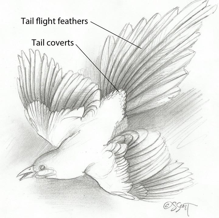 Sandy Scott Art: #420 In the studio: Bird anatomy, con\'t .