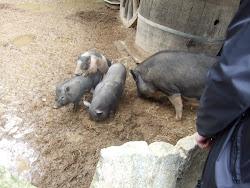 cochons noir