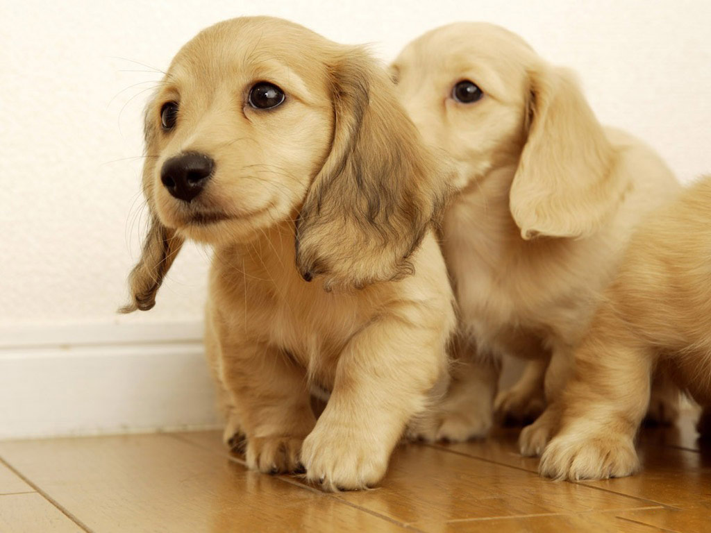 Golden retriever puppies wallpaper |Funny Animal