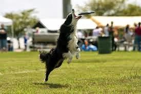 Doença do disco intervertebral em cães DDI