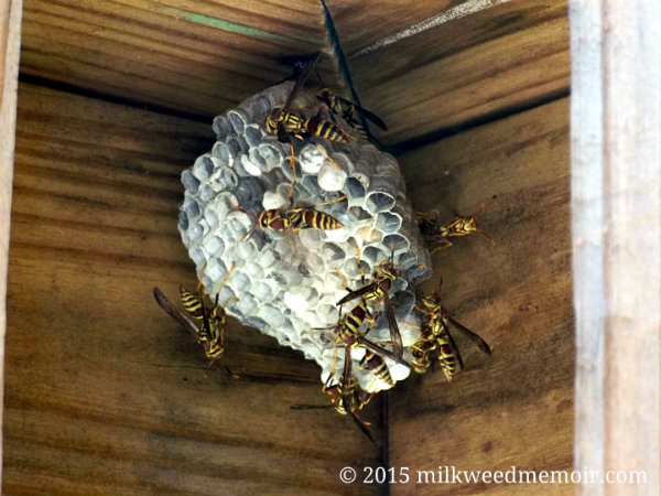 Paper wasps, Los Fresnos, Texas